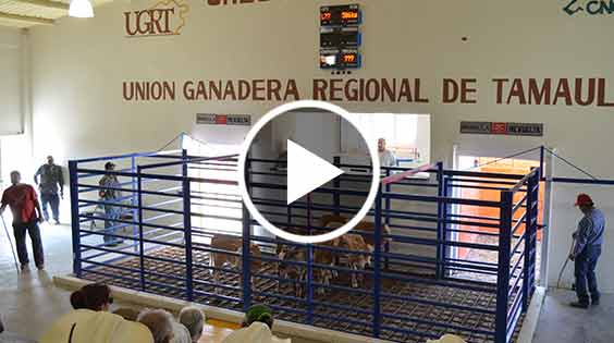 Video Promocional Venta de Ganado Limousin